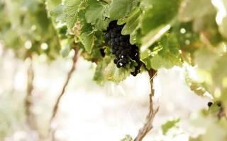 Обзор вина Пинотаж