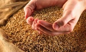 Как нужно проращивать пшеницу для самогона